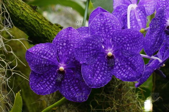 Costa Rican, vanda pachara, orchids at a botanical garden