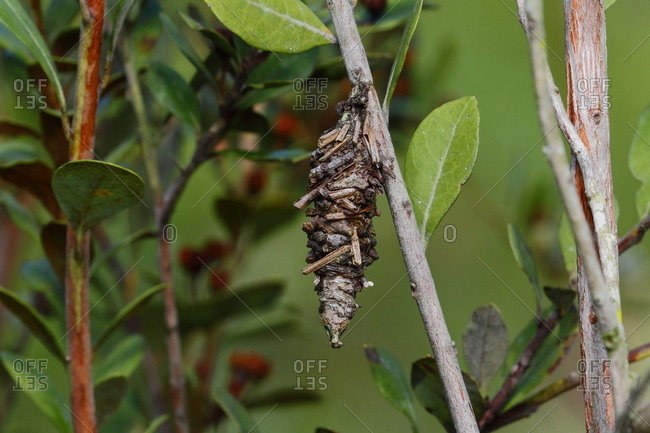 A bagworm moth, Psychidae, uses plant material to construct its bag