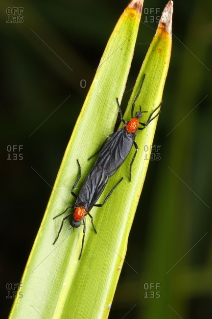 A pair of lovebugs, Plecia nearctica, rest on a leaf