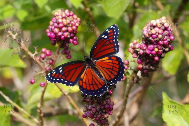 A viceroy butterfly, Limenitis archippus
