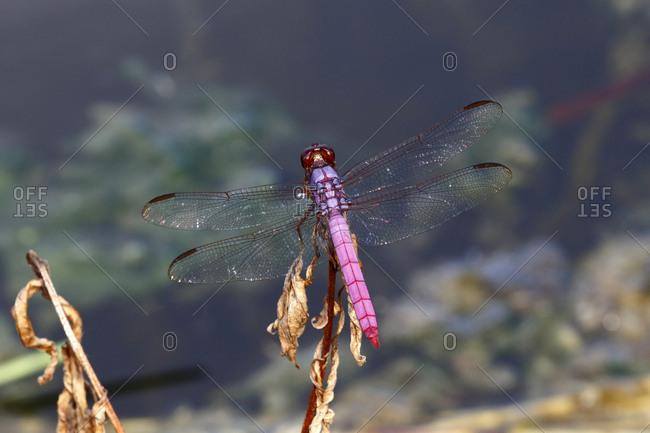 A roseate skimmer, Orethemis ferruginea, rests on a stem