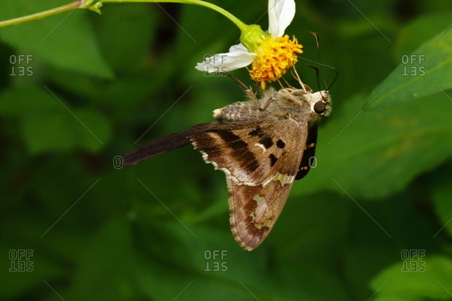 A long tailed skipper butterfly, Urbanus proteus, resting on a flower
