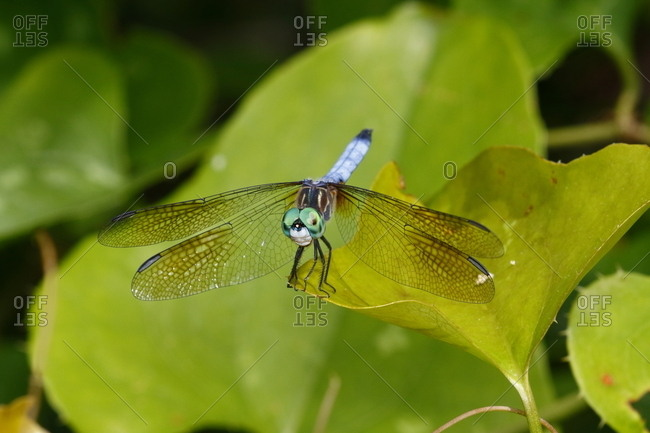 A male blue dasher dragonfly, Pachydiplax longipennis, rests on a leaf
