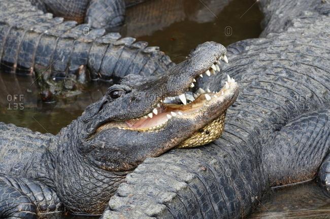 An American alligator, Alligator mississippiensis