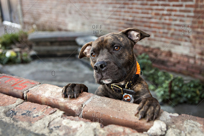 An American Staffordshire Terrier, or pit bull, begs for treats