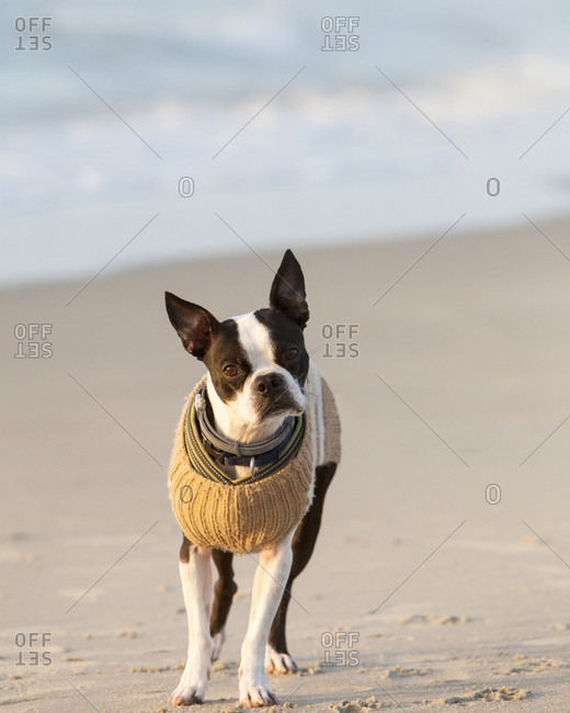 A young Boston Terrier wearing a sweater explores the beach