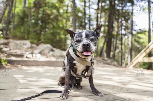 A senior Boston terrier sits along the Moxie Falls trail