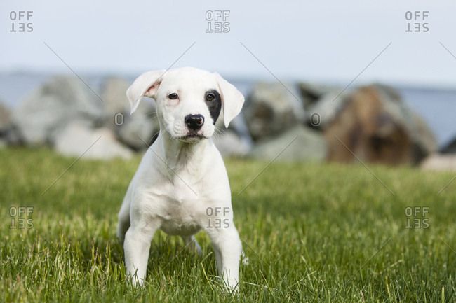 A mixed breed puppy plays outside on the grass