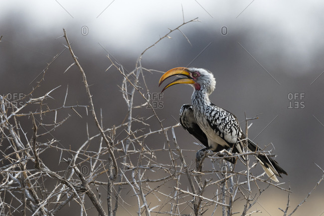 A southern yellow-billed hornbill, Tockus leucomelas, perching on a bush