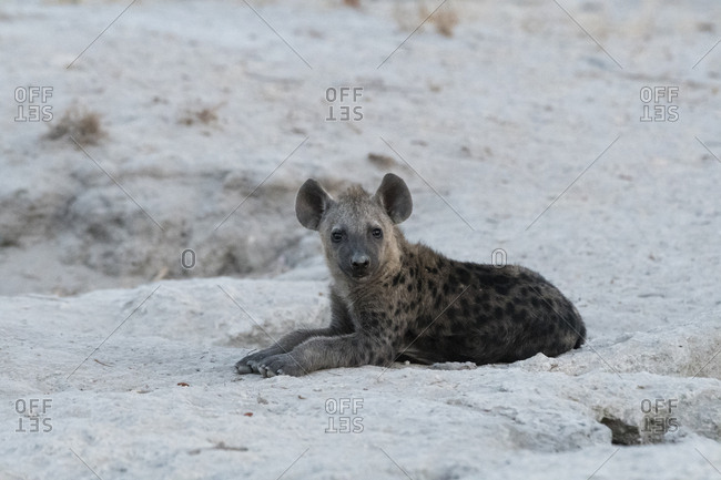 A spotted hyena cub, Crocuta crocuta, waiting for the mother outside the den