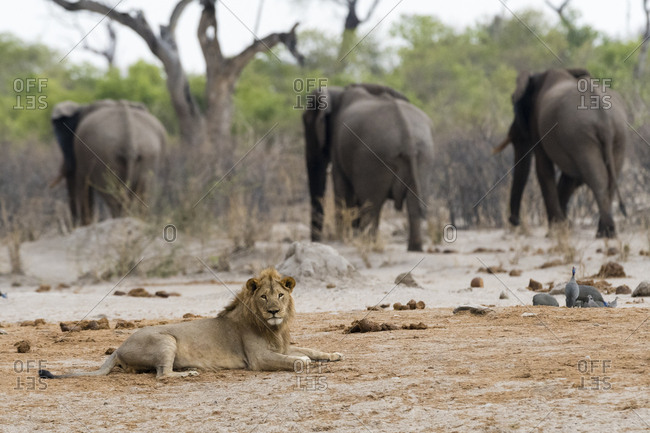 A male lion, Panthera leo, lying down and three African elephants, Loxodonta africana, in the background