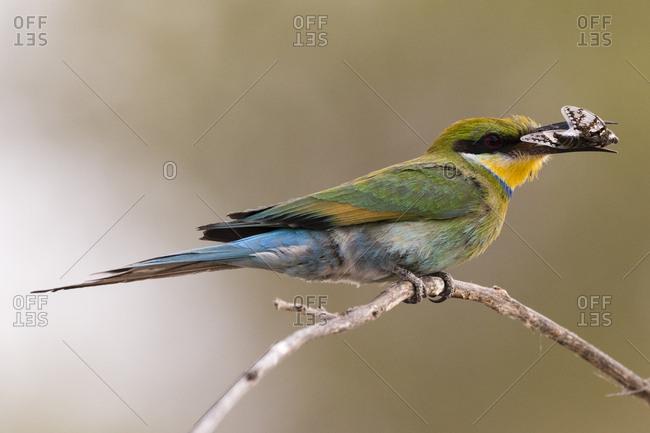 A little bee-eater, Merops pusillus, holding a cicada in its beak