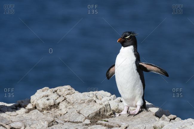 A rockhopper penguin, Eudyptes chrysocome, walking