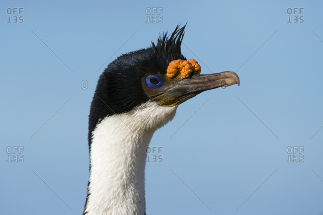 Portrait of an imperial shag, Leucocarbo atriceps