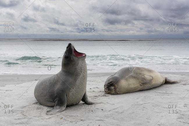 Young southern elephant seals, Mirounga leonina, resting on a beach