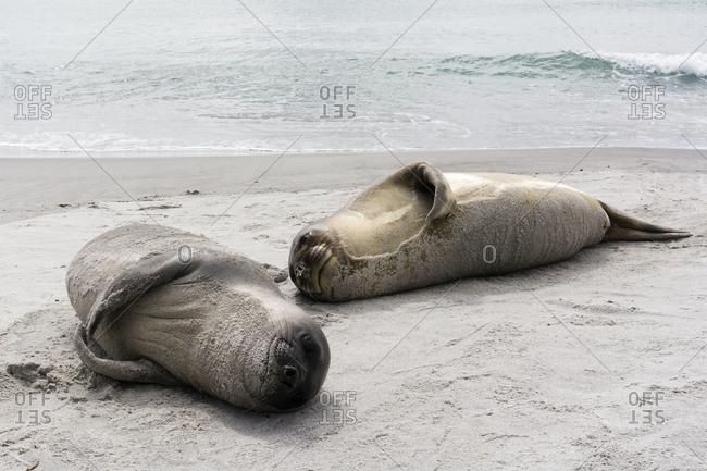 Young southern elephant seals, Mirounga leonina, resting on a beach