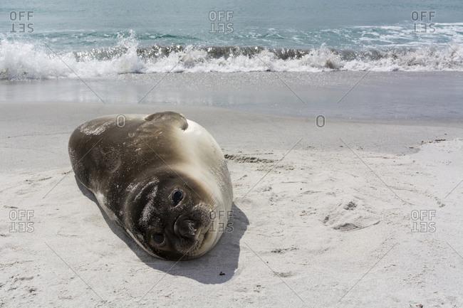 Southern elephant seal pup, Mirounga leonina, resting on a beach