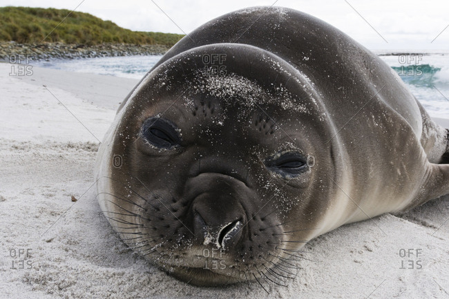 Southern elephant seal pup, Mirounga leonina, resting on a beach