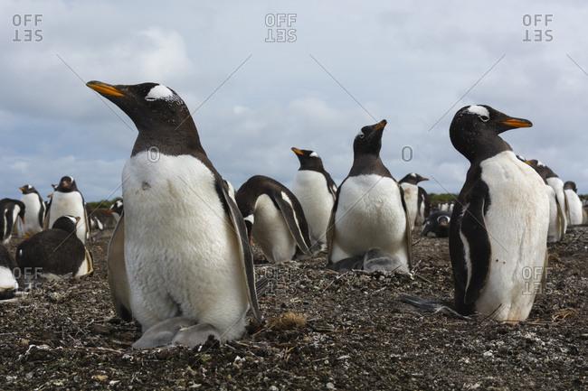 A Gentoo penguin colony, Pygoscelis papua
