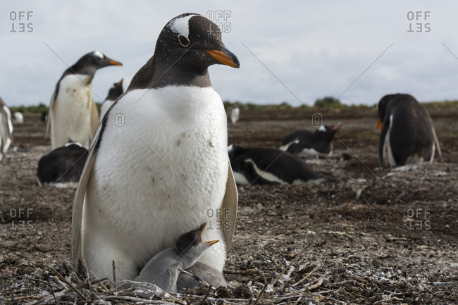 A Gentoo penguin, Pygoscelis papua, with its chick