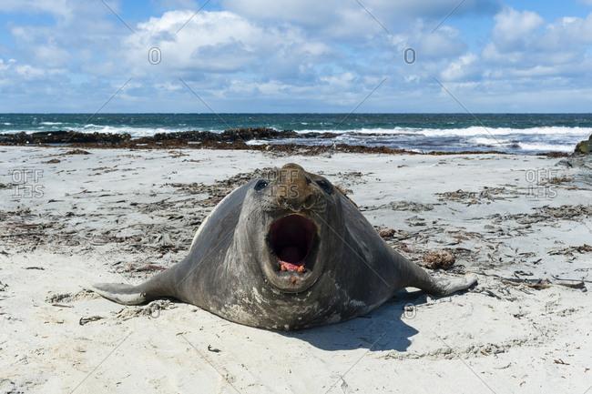 A southern elephant seal, Mirounga leonina, barking