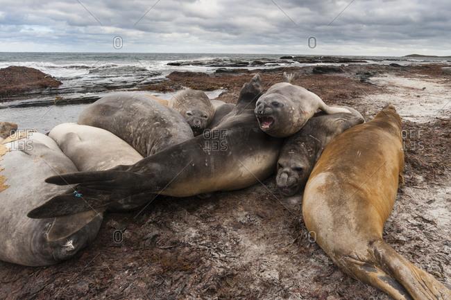 Southern elephant seals, Mirounga leonina, resting on a beach