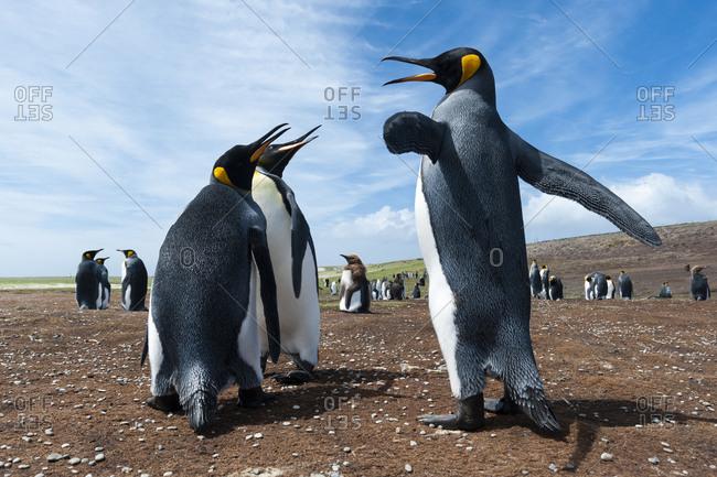 King penguins, Aptenodytes patagonica, fighting