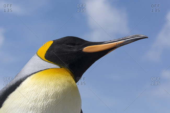 Portrait of a king penguin, Aptenodytes patagonica
