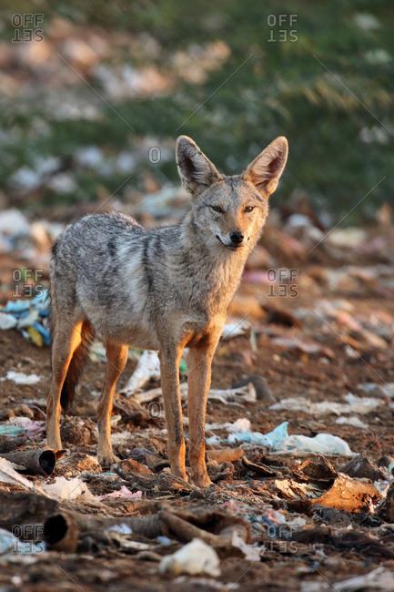 Portrait of a common jackal, Canis aureus