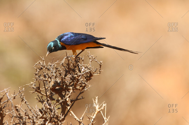 A golden-breasted starling, Lamprotornis regius, perches on a bare plant