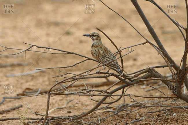 A short-tailed lark, Spizocorys fremantlii, perches on a branch