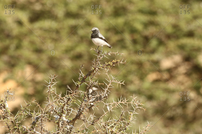 An endemic Somali wheatear, Oenanthe phillipsi, perches on a branch