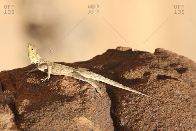 A female Somali agama, Agama somalica, lies on a rock