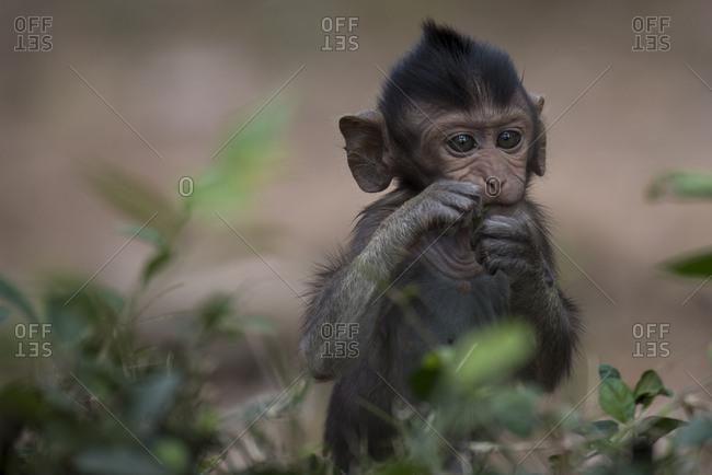 A young monkey at Angkor Thom