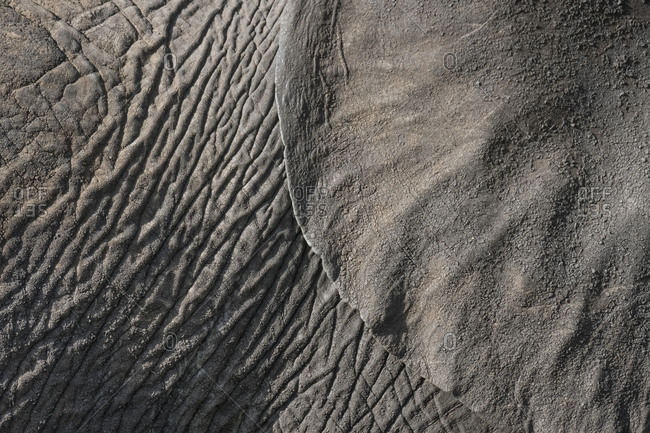 Detail of an African bush elephant's ear and body