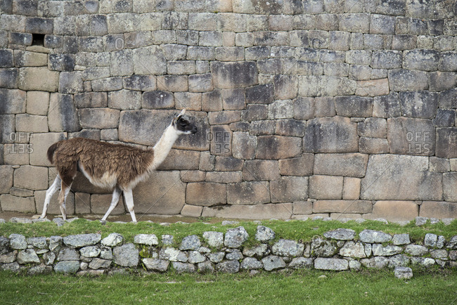 A llama walks along a wall at Machu Picchu
