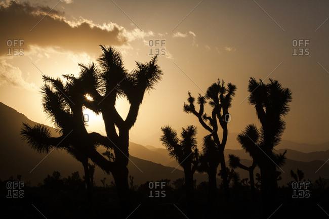 Joshua trees, Yucca brevifolia, silhouetted as the sun sets behind the Little San Bernardino Mountain