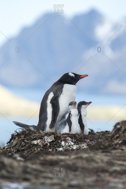 Gentoo penguins, Pygoscelis papua, rear their penguin chicks at a colony