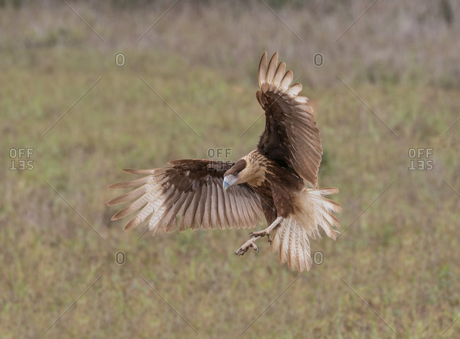 A crested caracara, also know as a Mexican eagle, spreads its wings in preparation for a landing