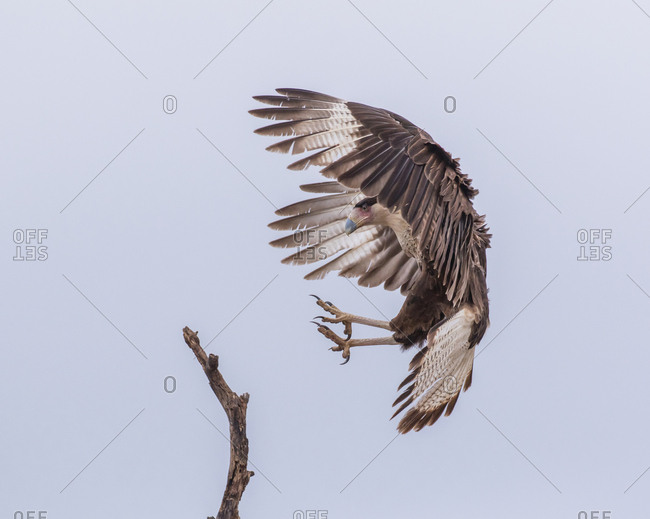A crested caracara, also known as the Mexican eagle, with wings in a braking position and talons extended prepares to land on a branch