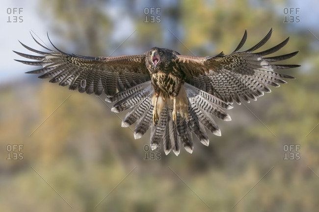 A Harris's hawk squawks and spreads its wings to break its approach to grab prey