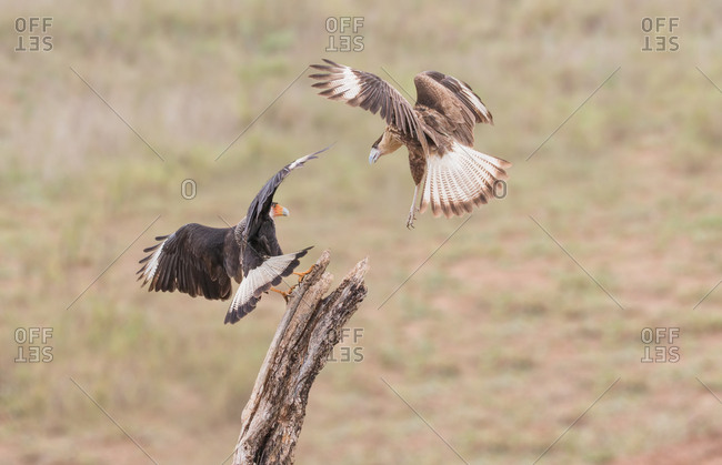 Two crested caracara's, also known as Mexican eagles, fight for the top spot on a perch