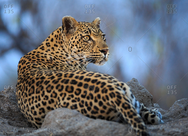 Portrait of a leopard, Panthera pardus, resting on a termite mound