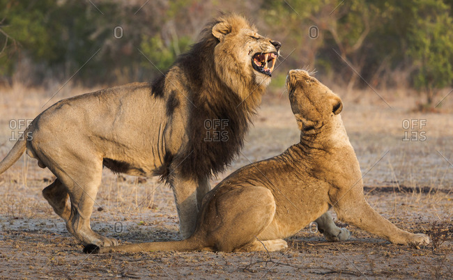 Male lion attempting to mate with a female, Panthera leo