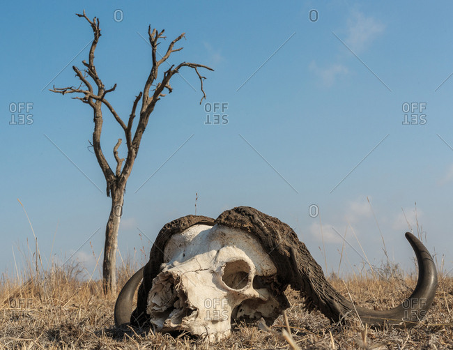 African, or Cape buffalo, Syncerus caffer, skull on the ground with dead tree in the background