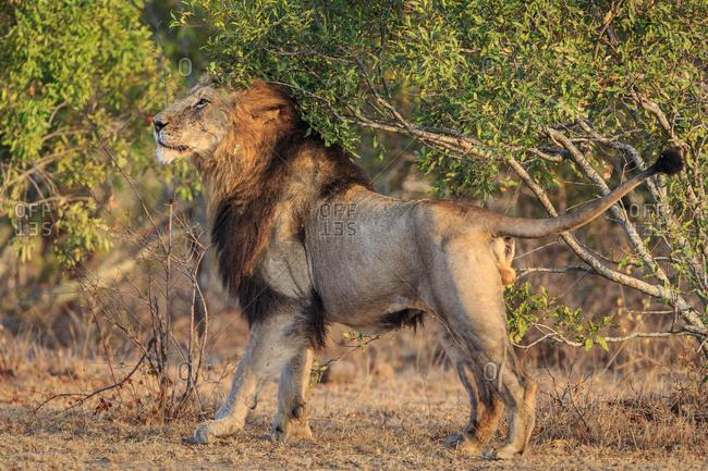 Male lion, Panthera leo, marking its territory on a tree