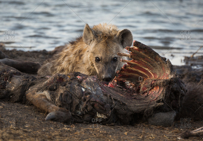 A spotted hyena, Crocuta crocuta, feeding on a common waterbuck, Kobus ellipsiprymnus