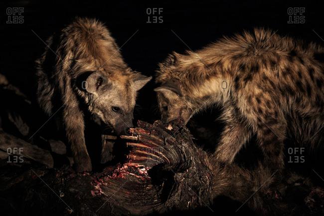 Spotted hyenas, Crocuta crocuta, feeding on the carcass of a common waterbuck, Kobus ellipsiprymnus