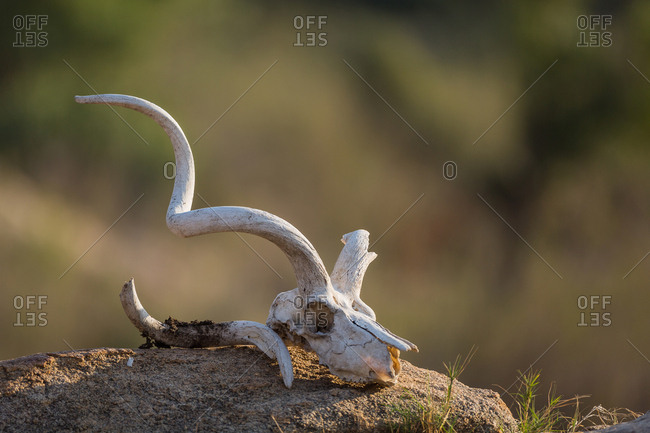 Skull of an impala, Aepyceros melampus, on top of a rock