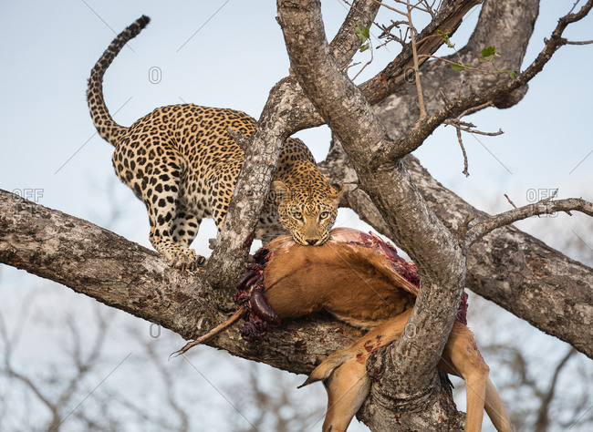 Leopard, Panthera pardus, pulling its kill, an impala, Aepyceros melampus, up into a tree